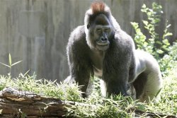 Kuja the Gorilla