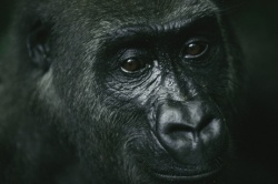 A gorilla is seen here in Plateaux Bátéke National Park in the African country of Gabon.