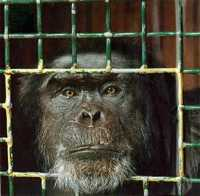 Photo of a Research Chimp