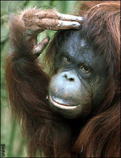 Chinta, female orang-utan