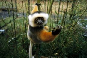 diamemed-sifaka-lemur-diets.jpg