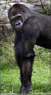 Little Joe, the Gorilla