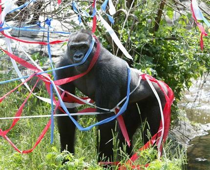 Little Joe, a gorilla