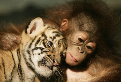 Irma the abandoned orang-utan puts a comforting hand around Dema the month-old tiger cub, before they both drift off to sleep