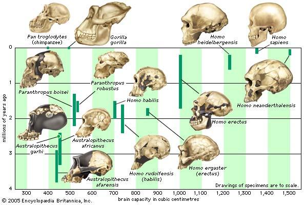 external image hominidae-cranial-capacity.jpg