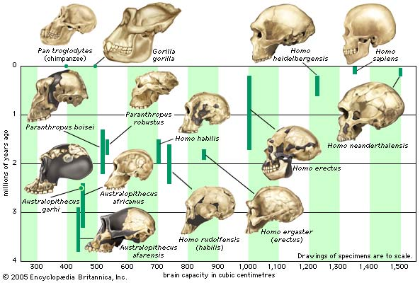 The increase in hominin cranial capacity over time.