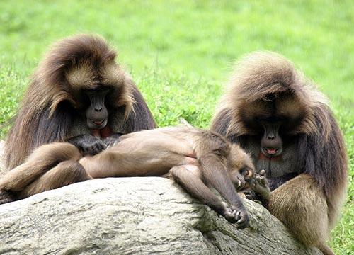 Baboon's grooming