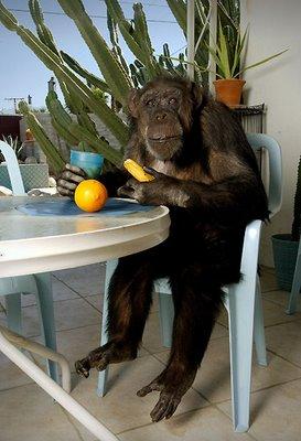 Cheeta the Chimpanzee Birthday Photos