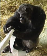 Hiasl the Chimpanzee