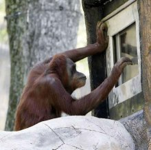 Orangutan shows off video game skills at Atlanta zoo