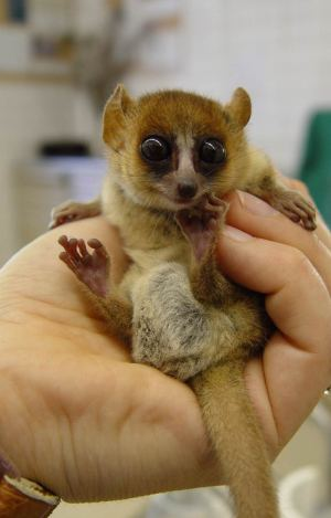 Goodman's mouse lemur, Microcebus lehilahytsara