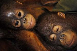 Orangutans Lying Beside Each Other