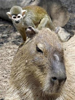 Squirrel Monkey & Capybara