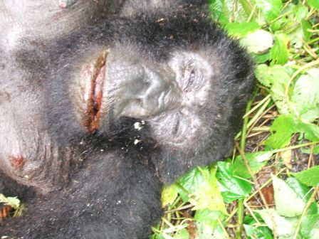 Dead Female Gorilla named Rubiga