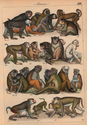 Macaque Illustration
