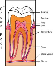 Tooth Section Illustration