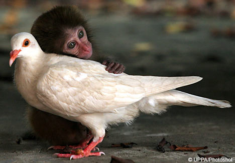 Baby Macaque and White Pigeon Make Friends