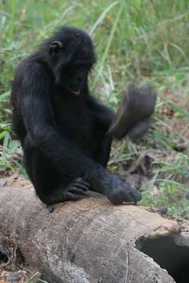 Bonobo Tool Use