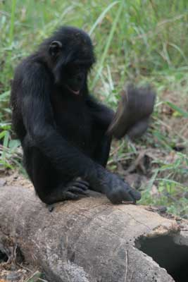Bonobo Tool Use
