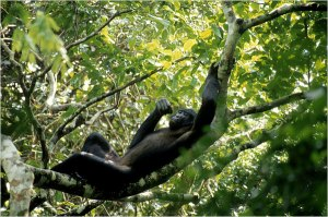 Bonobo Relaxing