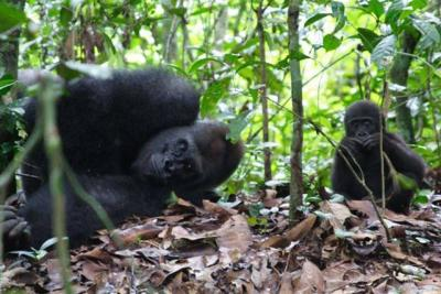 Gorillas in the Lope National Park