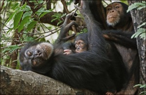 Fongoli Chimps Lounging