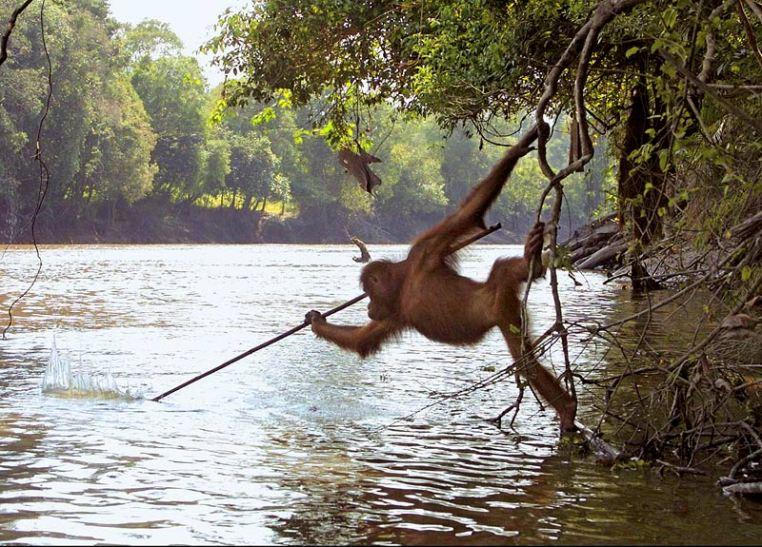 Orangutan using tool to fish