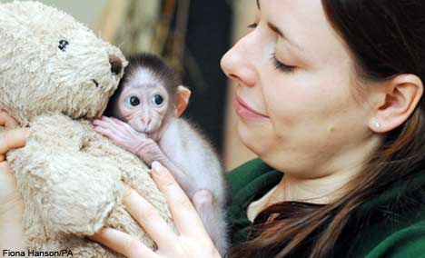 Conchita the white-naped mangabey