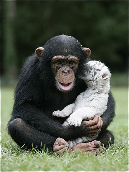 Anjana The Chimpanzee and Two White Tigers, Mitra & Shiva