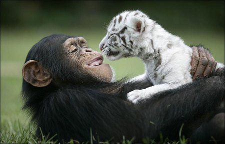 cute Chimp Anjana Raising baby white tiger