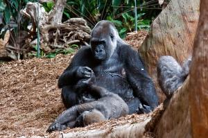 Gorilla Social Play