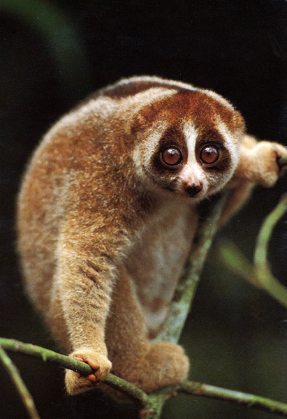 Are slow lorises really venomous? | Primatology.net
