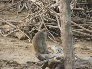 Macaque (Photo: Kristin Abt)