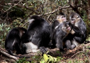 Black Snub Nosed Monkeys