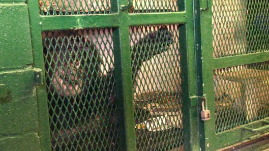 Tommy the chimp lives in a dark basement cage in upstate New York. Nonhuman Rights Project