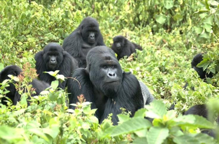 This is a family of mountain gorillas from the Virunga volcanic mountain range on the borders of Rwanda, Uganda and the Democratic Republic of Congo. Credit: Gorilla Doctors (UC Davis)