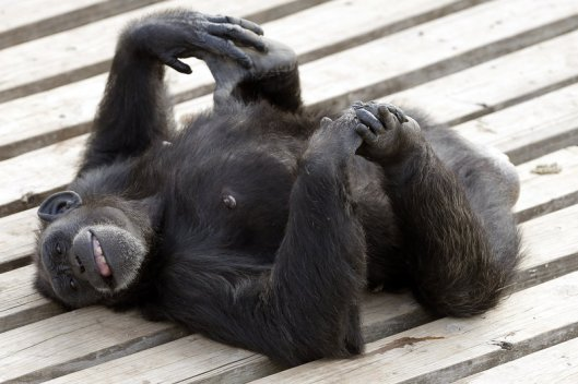 Star enjoys a moment in the sun at the Chimp Haven sanctuary in Keithville, La. Brandon Wade/AP Images for The Humane Society of the United States and Chimp Haven