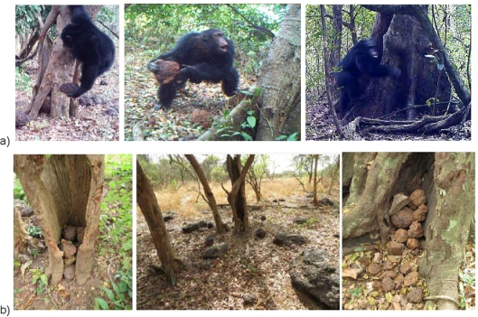 (a) Adult male chimpanzee tossing a stone; hurling a stone (Boé, Guinea-Bissau); and banging a stone (Comoé GEPRENAF, Côte d'Ivoire). (b) Boé, Guinea-Bissau landscape: stones accumulated in a hollow tree; a chimpanzee accumulative stone throwing site; and stones accumulated in-between buttress roots