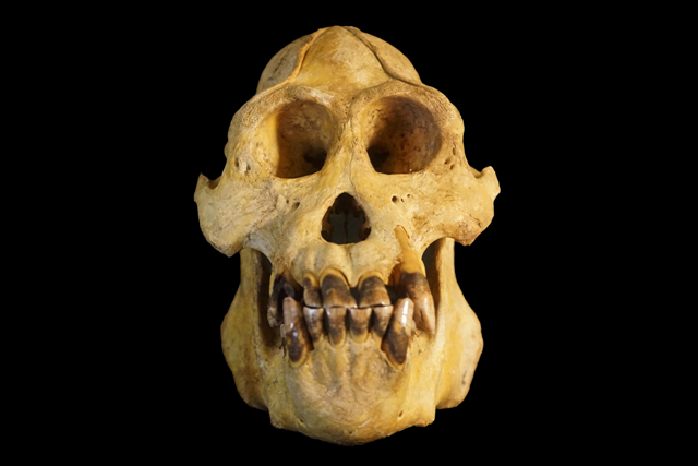 This orangutan skull has large upper teeth and a shallow face, which differs from the two previously known species. (Credit: Matthew G. Nowak)