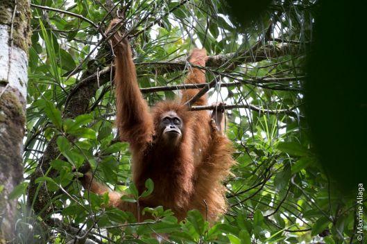 Tapanuli orangutan (Credit: Maxime Aliaga)
