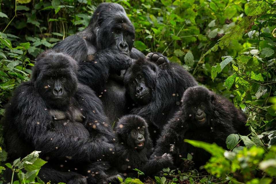 The rise in mountain gorilla numbers is a success for intensive conservation work in a troubled region. Photograph: Brent Stirton/WWF